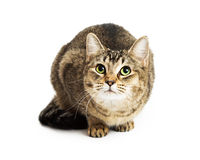 Curious brown tabby cat looking up Stock Photography
