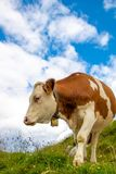 Curious cow in the austrian alps with cloudy sky royalty free stock photography