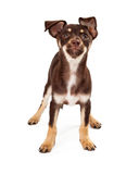 Curious Brown and Whtie Puppy Standing Royalty Free Stock Images