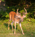 Curious buck Royalty Free Stock Photos