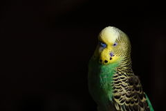 Curious Budgie Emerging From Darkness. A curious budgie emerging from darkness looking on royalty free stock photos
