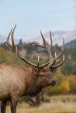 Curious Bull Elk Stock Photo