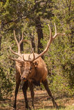 Curious Bull Elk Stock Image