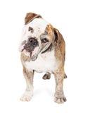 Curious Bulldog Breed Dog Tilting Head Stock Image