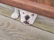 Curious Bulldog Stock Images