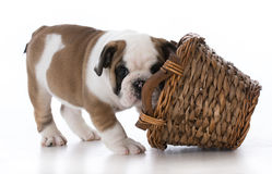 curious bulldog puppy Royalty Free Stock Photo