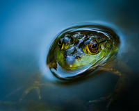 Curious Bullfrog. American Bullfrog Partially Submerged in Water stock photo