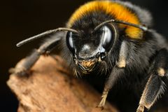 Curious bumble bee. Old bumble bee on the piece of wood Royalty Free Stock Image