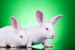 Curious bunnies Royalty Free Stock Photo