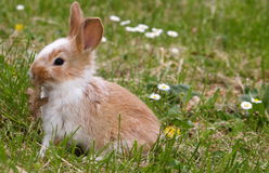 Curious bunny Royalty Free Stock Photo