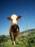 Curious Calf. In an Austrian Landscape Stock Images