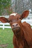 Curious Calf Stock Image