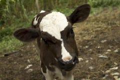 Curious calf Stock Photos