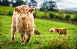 Curious calf Royalty Free Stock Image