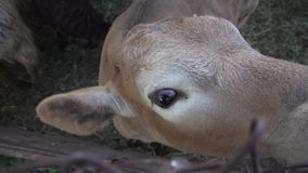 Curious calf looks in frame. This video shows Curious calf looks in frame stock video footage