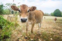 Curious calf and sheep Stock Images