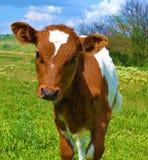 Curious calf. A very big calf`s interest Stock Photo