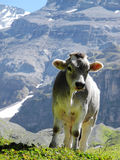 Curious calf, young cow posing in the Swiss mountains. Young cow in the Swiss alps, calf posing in front of a mountain Royalty Free Stock Photo