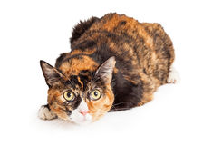 Curious Calico Cat Laying Royalty Free Stock Image
