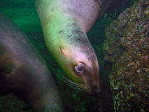 Curious California Sea Lion. A playful wild California Sea Lion swimming around us divers in British Columbia, Canada Stock Photography