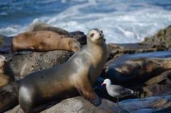 Curious California sea lions near La Jolla Cove - 2 Stock Image