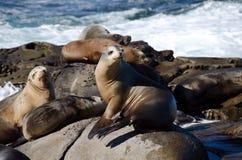 Curious California sea lions near La Jolla Cove Stock Photos