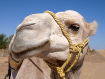 Curious camel is watching in the desert. Royalty Free Stock Images