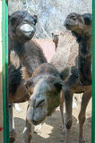 Curious camels (dromedaries). A shot of a curious camels Royalty Free Stock Photo