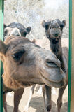 Curious camels (dromedaries). A shot of a curious camels Stock Photos