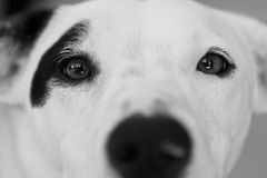 Curious Canine. Stares into the lens of a camera Royalty Free Stock Image