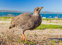 Curious Cape Francolin Stock Images
