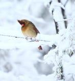 Curious cardinal Stock Image