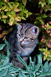 Curious Cat. Look out of a Bush Royalty Free Stock Image