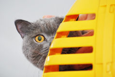 Curious Cat. A photo taken on a british short-hair cat peeking over the kennel Stock Photo