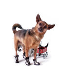 Curious Cat. A chihuahua mix with shoes on and a cat behind him Stock Photo