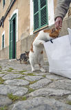 Curious Cat. Red and white cat shorthaired domestic cat standing on hind legs peering into shopping bag on stone pathway beside building with green shutters Stock Photo