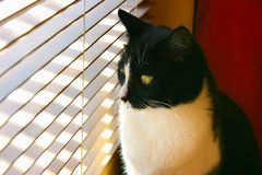 Curious cat. Sitting by a window looking through venetian blinds on a sunny day Stock Images