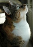 Curious Cat. Cat watching out window at birds royalty free stock photos