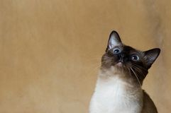 Curious cat. Curious siamese cat with baby blue eyes stock image