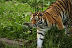 Curious Cat. Amur Tiger Cub walking in grass and exploring his territory Stock Photos