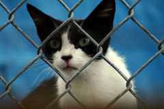 Curious Cat. White and black alley cat looking through fence Royalty Free Stock Image