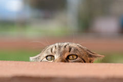 Curious cat. Behind the wall royalty free stock image