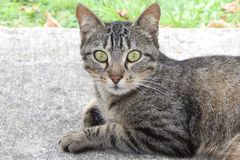 Curious cat with big green eyes. A curious cat looking right into the camera with its big green eyes in France royalty free stock images