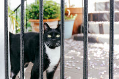Curious Cat. Curious black cat with white chest standing in the front garden, looking at the camera through the fence Royalty Free Stock Image