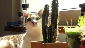 Curious cat and cactus in the sun stock video footage
