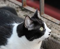 The curious cat. Curious black and white cat royalty free stock images