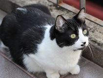 The curious cat. Curious black and white cat stock images