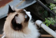 The curious cat. Curious siamese cat royalty free stock image