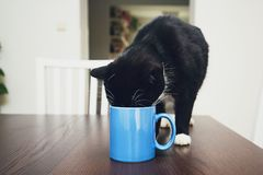 Curious cat drinking from mug Stock Photo