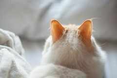 Curious cat, cat ears are listening to noise while lying in bed. Can be used as background stock photos
